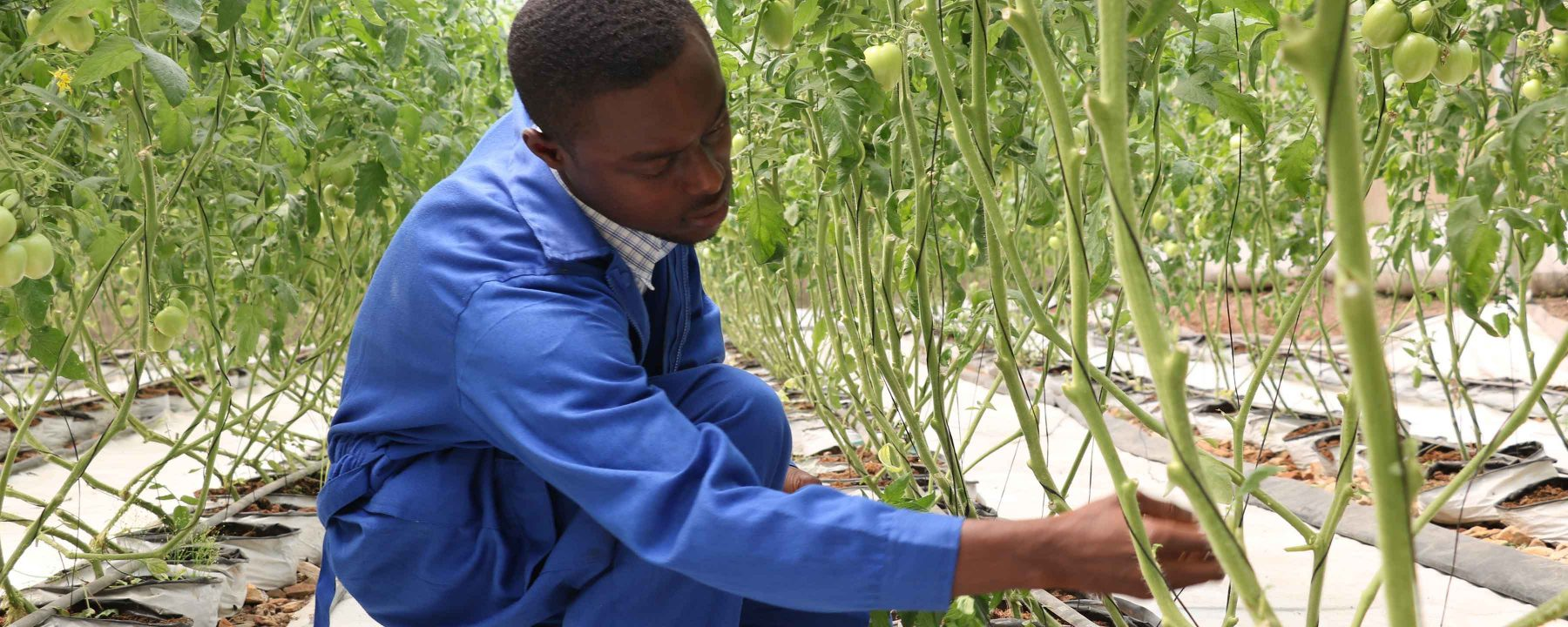 Prince Kofi Boateng, an Africa Lead Agribusiness Leadership Internship Program (A-LEAP) intern pruning a tomato plant at a greenhouse he manages for a host institution.