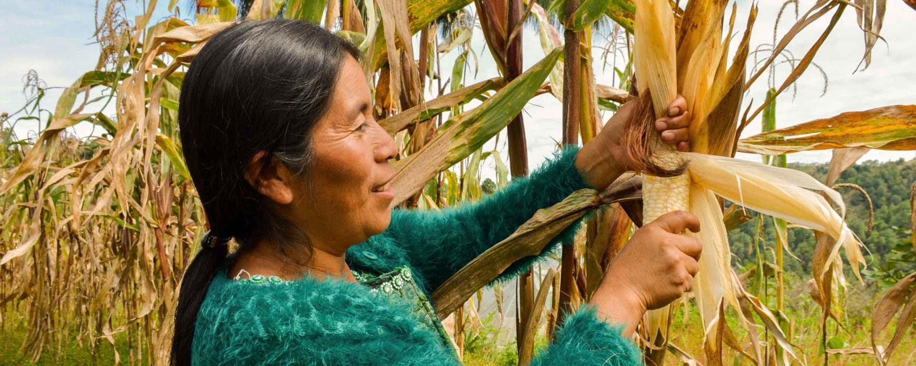 A Guatemalan farmer harvesting maize from a participatory plant breeding plot.
