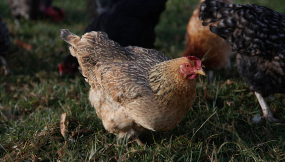 Connecting Young Chicken Farmers to the Kenyan Market