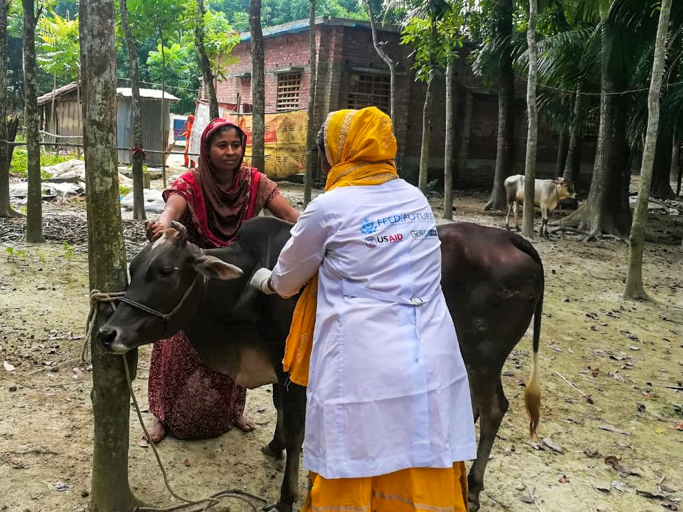 Tuhina Khatun providing primary animal care services for another cattle farmer